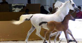 صورة الخيل العربي الاصيل , الحصان العربى الاصلى