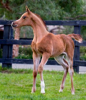 صورة خيول عربية , اروع خيول العرب