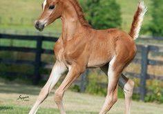 صورة خيول عربية , اروع خيول العرب 4459 10 236x165