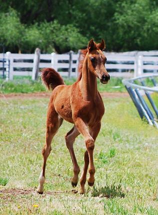 صورة خيول عربية , اروع خيول العرب 4459 2