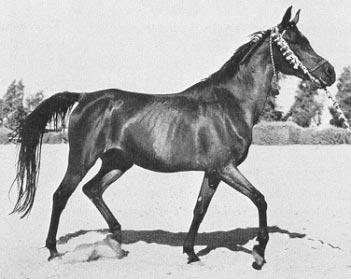 صورة خيول عربية , اروع خيول العرب 4459 3