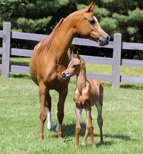 صورة خيول عربية , اروع خيول العرب 4459 7