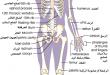 صور صور جسم الانسان , جسم الانسان بالصور