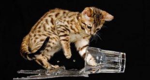 صوره صور قطط شيرازي , اجمل صور القطط