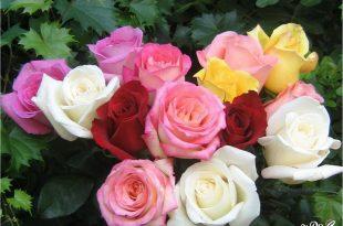 صوره ازهار جميلة , اجمل صور وخلفيات زهور طبيعيه