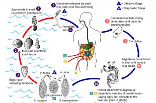 بالصور مرض البلهارسيا , اسباب مرض البلهارسيا والوقايه منها 2170 1 310x205