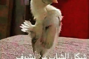 بالصور صور مضحكة جدا , اضحك من قلبك 2452 11 310x205