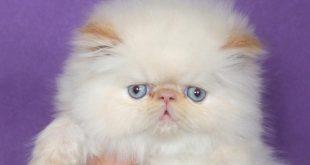 صور قطط هملايا , صور قطة هملايا