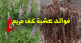 بالصور عشبة كف مريم , فوائد عشبة كف مريم 2563 1 310x165