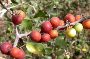 بالصور ما هو السدر , نبات السدر وفوائده 2731 3 310x205
