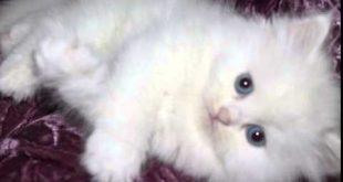 صور قطط شيرازى , تعرف على القطط الشيرازى