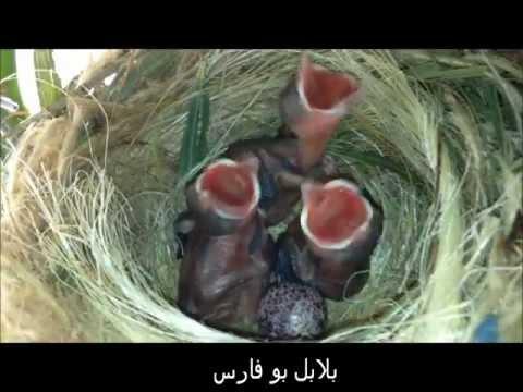 بالصور بلابل عراقية , صور لطيور البلابل العراق 3719 10