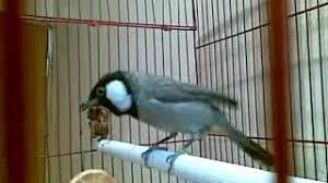 بالصور بلابل عراقية , صور لطيور البلابل العراق 3719 3