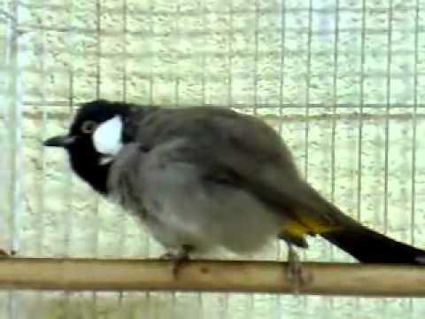بالصور بلابل عراقية , صور لطيور البلابل العراق 3719 4
