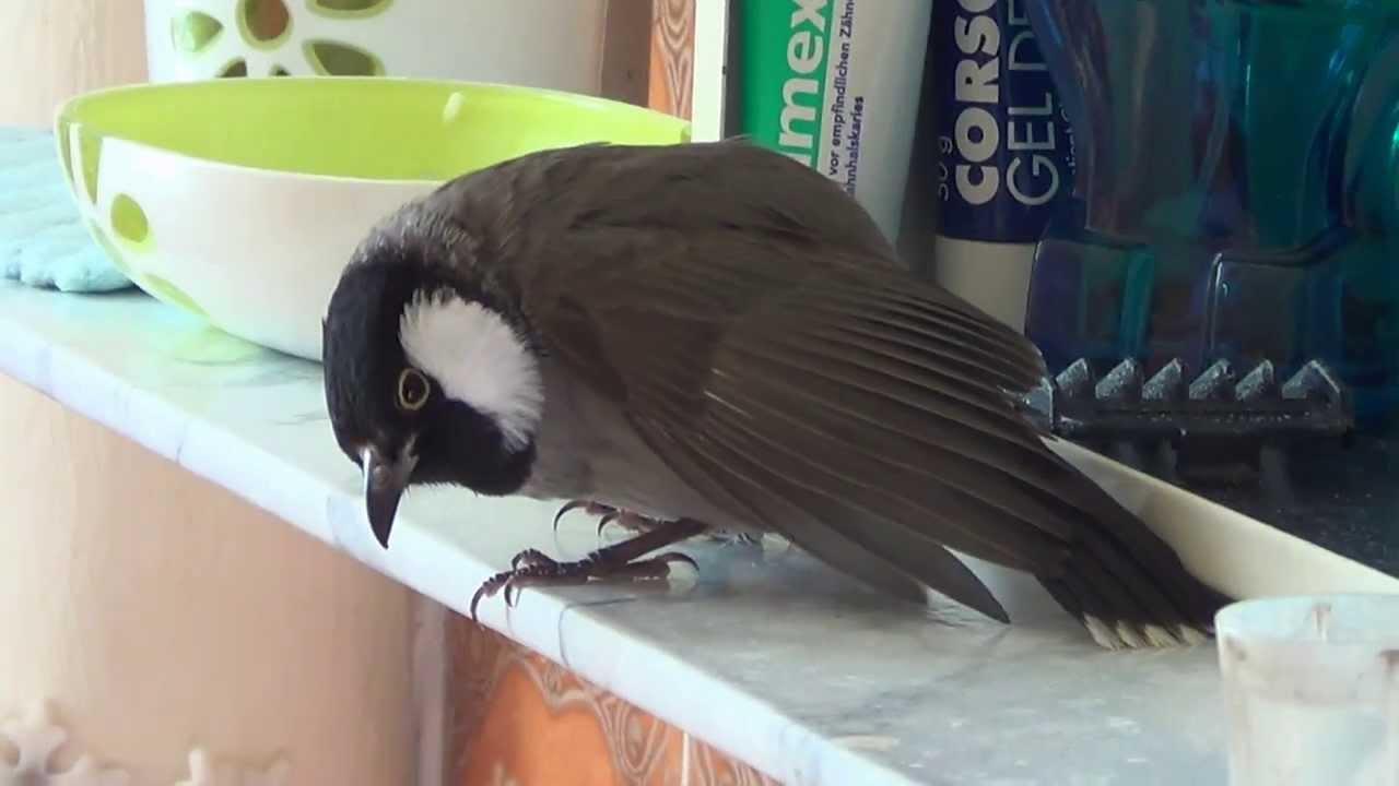 بالصور بلابل عراقية , صور لطيور البلابل العراق 3719 5