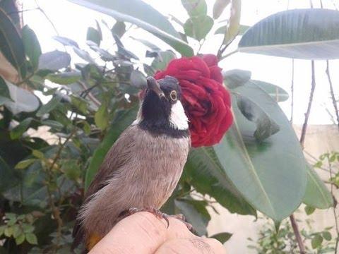 بالصور بلابل عراقية , صور لطيور البلابل العراق 3719 7