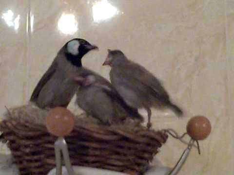 بالصور بلابل عراقية , صور لطيور البلابل العراق 3719 8