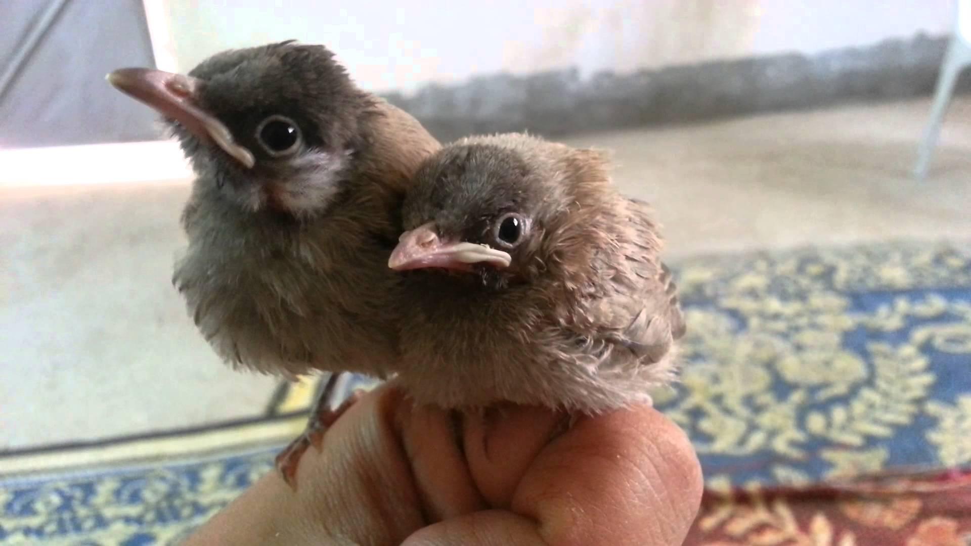 بالصور بلابل عراقية , صور لطيور البلابل العراق 3719 9