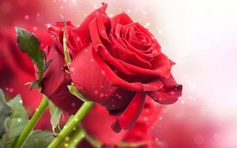 بالصور زهور الحب , اشتري ورد من اجل الحب 4179 3