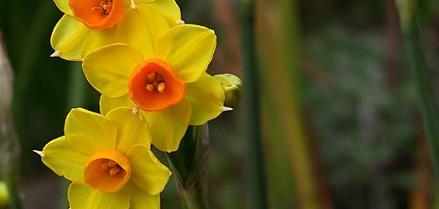 صورة ما هو النرجس , اجمل انواع الزهور