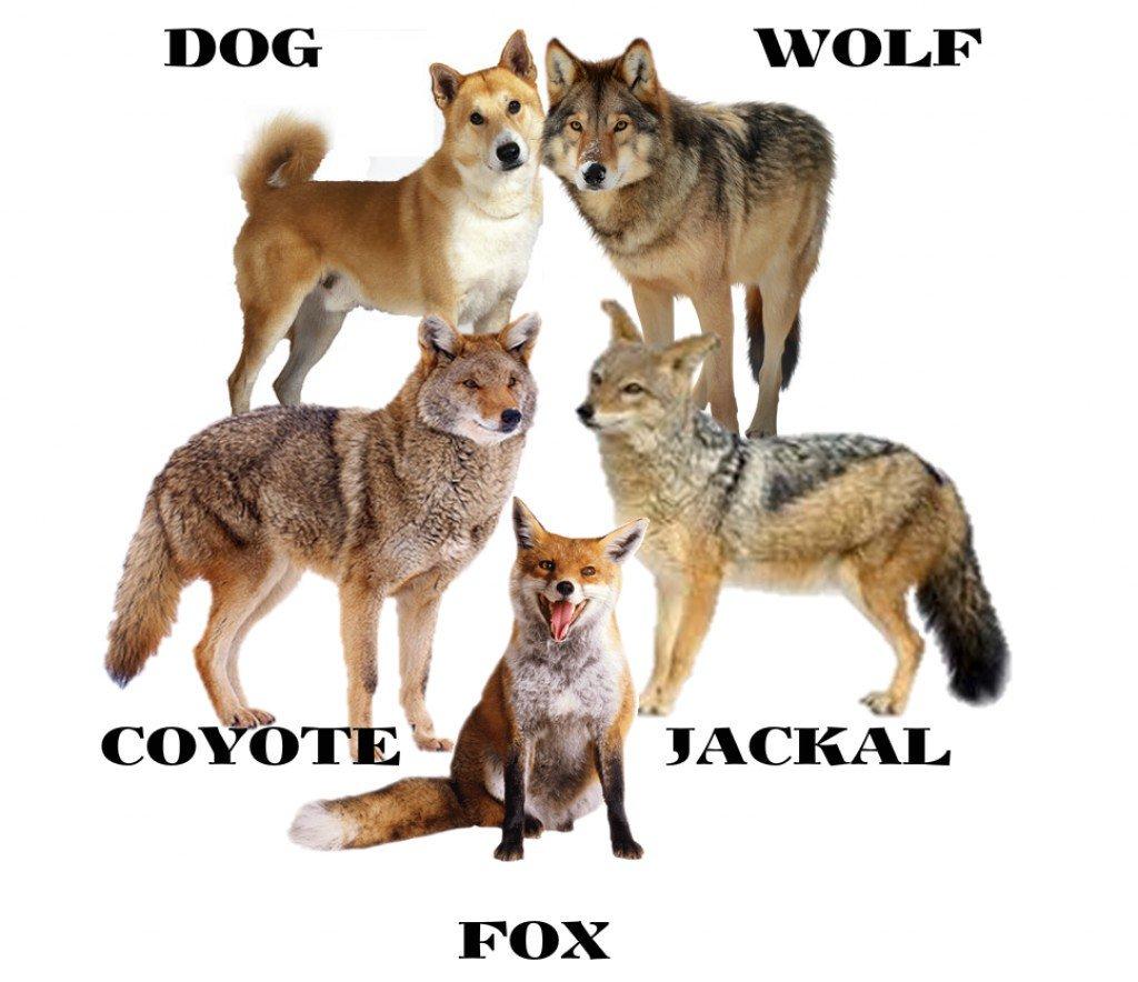 صورة الفرق بين الذئب والكلب , الفرق كبير جدا