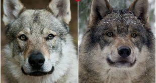 صور الفرق بين الذئب والكلب , الفرق كبير جدا