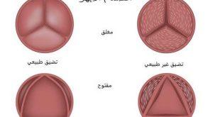 صور اسماء صمامات القلب , القلب هو اساس الجسم