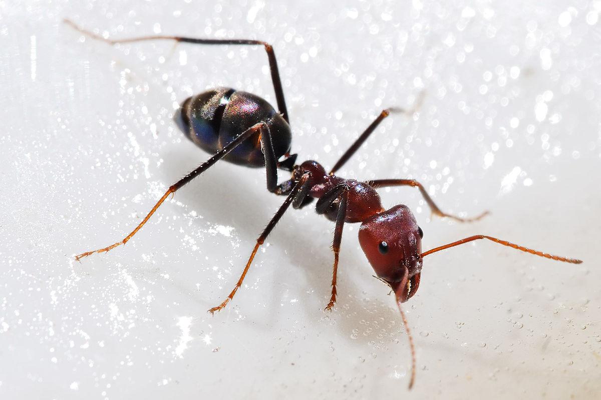 صور كم رجل للنملة , هل تمتلك النملة ارجل