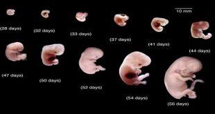 صورة مراحل تكوين الجنين بالصور من اول يوم , عجائب تكوين الجنين