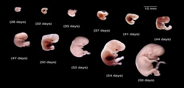 صور مراحل تكوين الجنين بالصور من اول يوم , عجائب تكوين الجنين