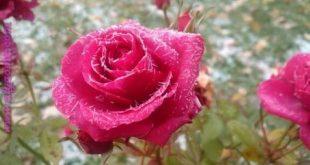 صور صور ورود و زهور , جمال الورد والزهور بالصور