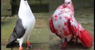 صور صور طيور حمام , اجمل صور طيور الحمام