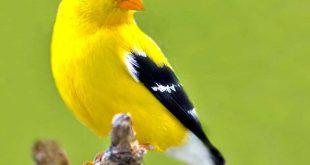 صورة صور عصافير , تعرف على اجمل انواع العصافير