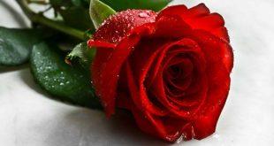 صور صور ورود جميلة , الورود وجمالها بالصور