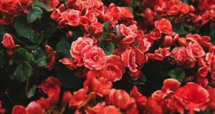 صورة ورد احمر رومانسي , اجمل اشكال وانواع الورد
