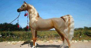 صورة اجمل خيول في العالم , خيول عربية اصيله