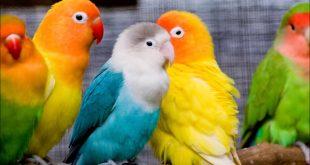 صورة اجمل طيور العالم, عصافير الزينة لجمال بيتك
