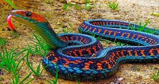صورة انواع الثعابين, اكبر انواع الثعابين في العالم
