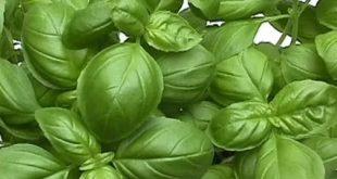 صورة ما هو الحبق, فوائد نبات الريحان