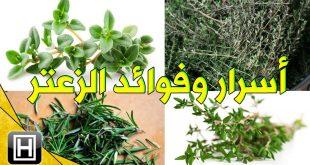 صورة تناول هذا النبات المفيد جدا للجسم , فوائد ورق الزعتر