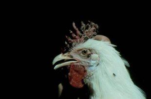 صورة اتعرف على مسببات مرض الدجاج , علاج جدري الدجاج بالاعشاب