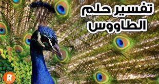 صورة حلمت بوجود طاووس فى منامى , الطاووس في المنام 13834 3 310x165